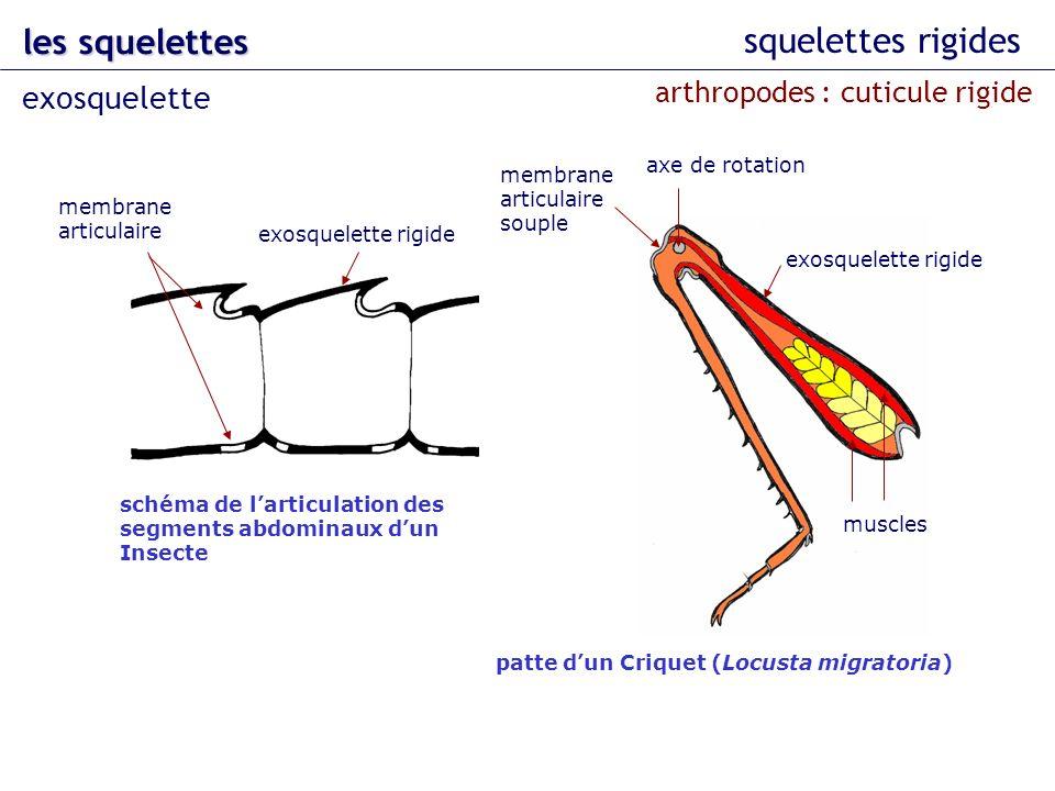 squelettes rigides les squelettes exosquelette membrane articulaire exosquelette rigide schéma de larticulation des segments abdominaux dun Insecte pa