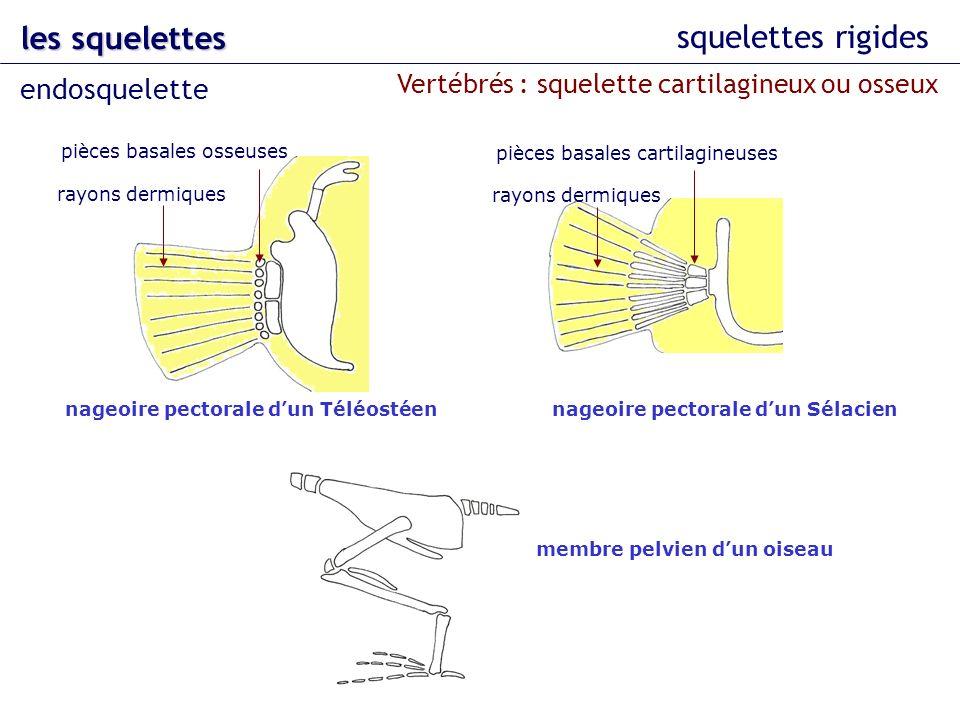 squelettes rigides les squelettes endosquelette nageoire pectorale dun Téléostéen pièces basales osseuses rayons dermiques Vertébrés : squelette carti