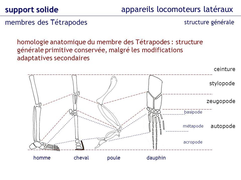 appareils locomoteurs latéraux support solide membres des Tétrapodes ceinture stylopode zeugopode autopode homologie anatomique du membre des Tétrapod