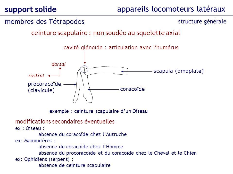 appareils locomoteurs latéraux support solide membres des Tétrapodes structure générale ceinture scapulaire : non soudée au squelette axial scapula (o
