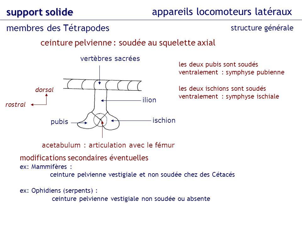 appareils locomoteurs latéraux support solide membres des Tétrapodes structure générale ceinture pelvienne : soudée au squelette axial vertèbres sacré