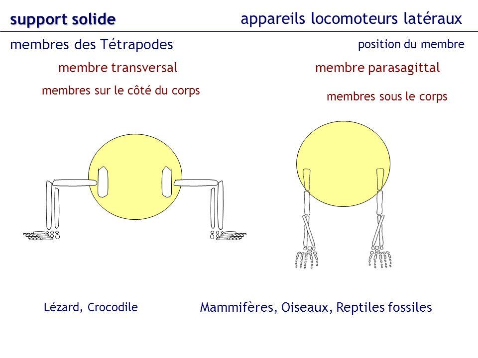 appareils locomoteurs latéraux support solide membres des Tétrapodes position du membre membre parasagittalmembre transversal Lézard, Crocodile Mammif