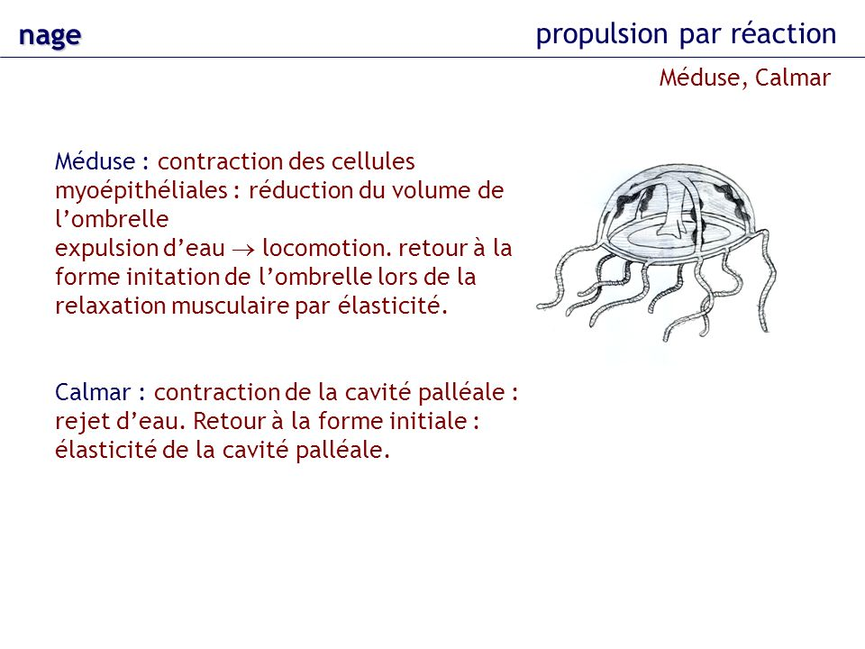 nage propulsion par réaction Méduse : contraction des cellules myoépithéliales : réduction du volume de lombrelle expulsion deau locomotion. retour à