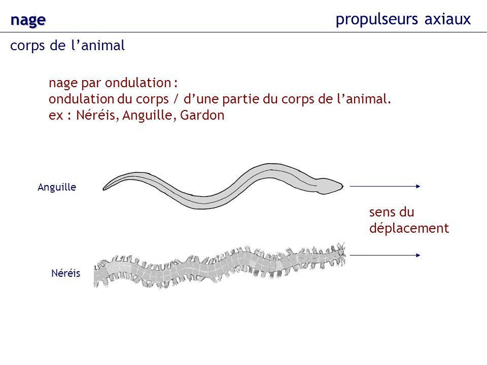nage corps de lanimal propulseurs axiaux nage par ondulation : ondulation du corps / dune partie du corps de lanimal. ex : Néréis, Anguille, Gardon se