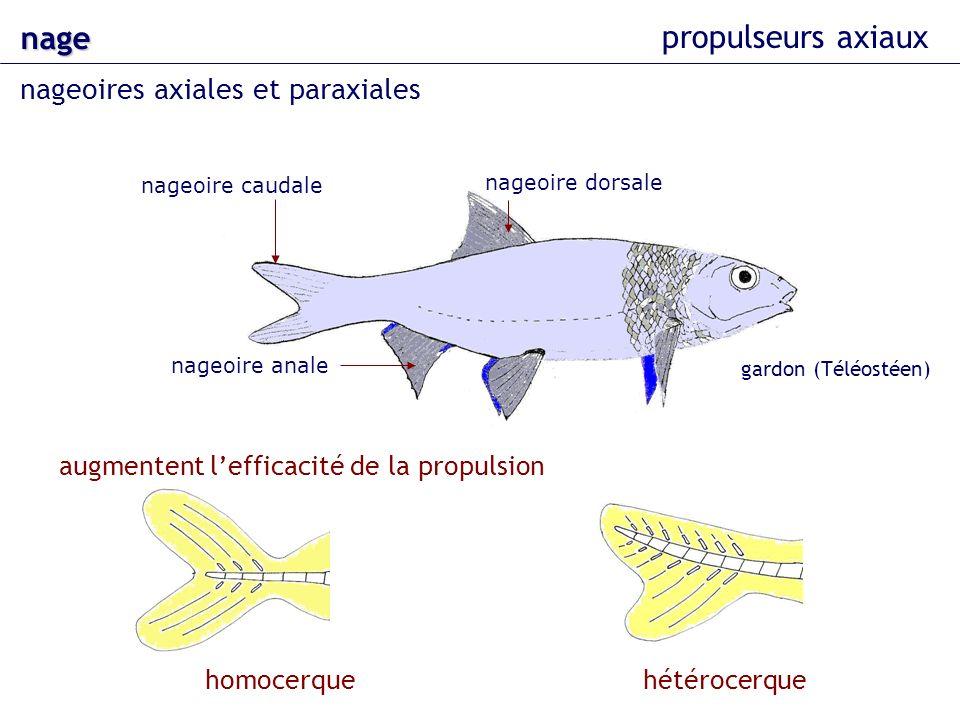 nage nageoires axiales et paraxiales propulseurs axiaux nageoire dorsale nageoire caudale nageoire anale augmentent lefficacité de la propulsion gardo