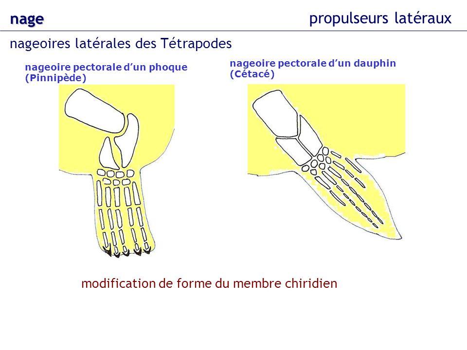 nage propulseurs latéraux nageoires latérales des Tétrapodes nageoire pectorale dun phoque (Pinnipède) nageoire pectorale dun dauphin (Cétacé) modific