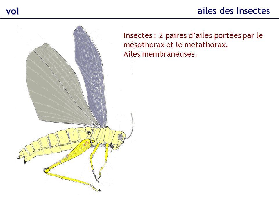 vol ailes des Insectes Insectes : 2 paires dailes portées par le mésothorax et le métathorax. Ailes membraneuses.