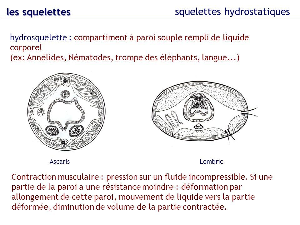 squelettes hydrostatiques les squelettes structure musculaire hydrostatique : courantes chez les animaux aquatiques : peu de dépenses énergétiques pour le maintien du poids du corps (densité du corps = densité du milieu).