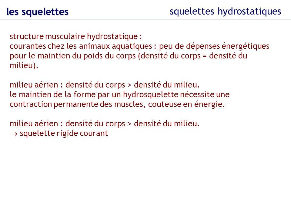 squelettes hydrostatiques les squelettes structure musculaire hydrostatique : courantes chez les animaux aquatiques : peu de dépenses énergétiques pou