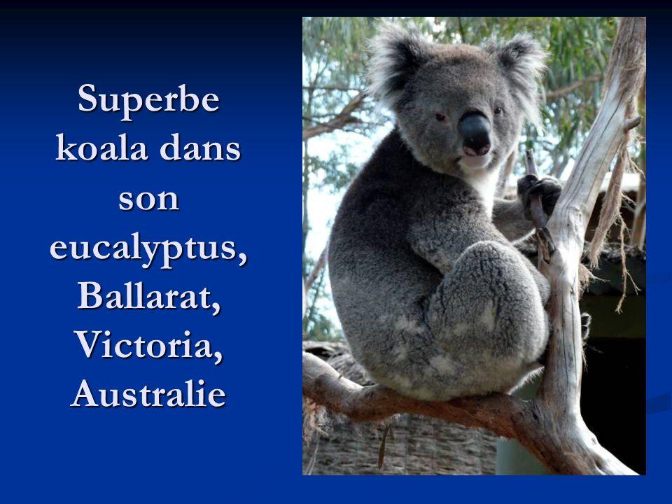 Superbe koala dans son eucalyptus, Ballarat, Victoria, Australie