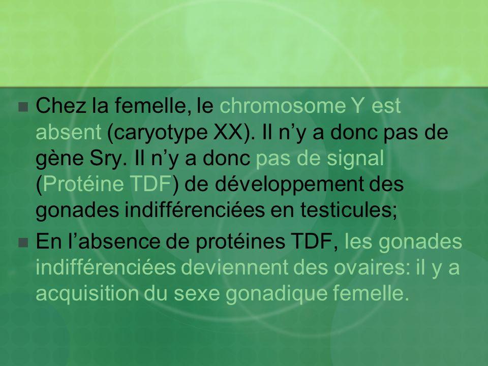 Chez la femelle, le chromosome Y est absent (caryotype XX). Il ny a donc pas de gène Sry. Il ny a donc pas de signal (Protéine TDF) de développement d