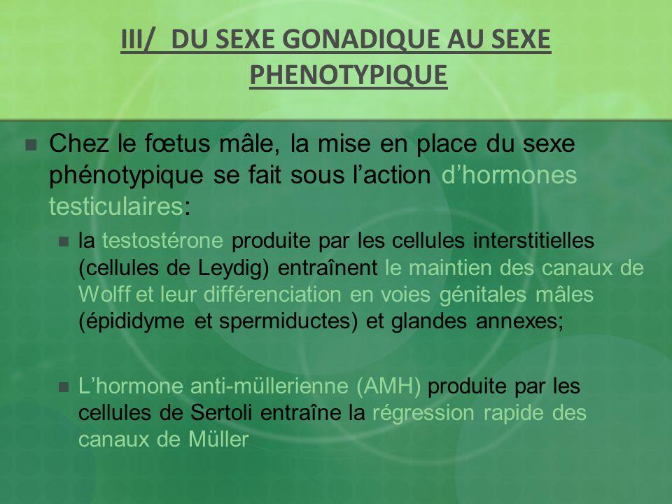 III/ DU SEXE GONADIQUE AU SEXE PHENOTYPIQUE Chez le fœtus mâle, la mise en place du sexe phénotypique se fait sous laction dhormones testiculaires: la