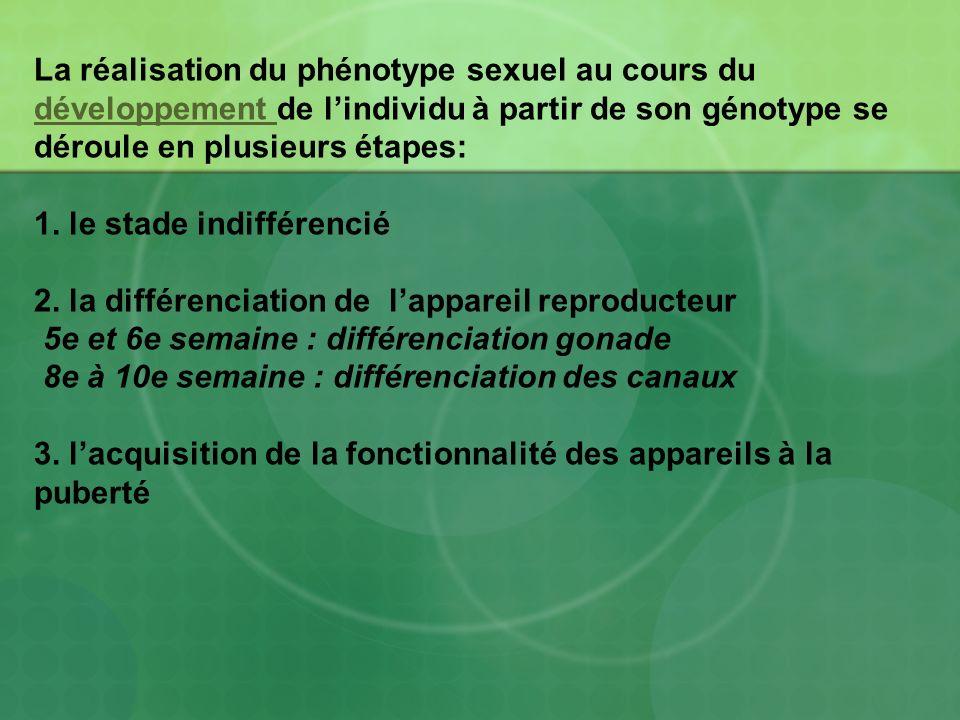 I / L E STADE INDIFFERENCIE Au début du développement embryonnaire, il existe un stade où les gonades et les voies génitales ne sont pas encore différenciées et peuvent évoluer vers un phénotype mâle ou femelle selon lexpression du génotype : cest le stade indifférencié.