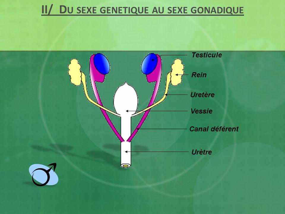 Uretère Rein Vessie Urètre Testicule Canal déférent II/ D U SEXE GENETIQUE AU SEXE GONADIQUE