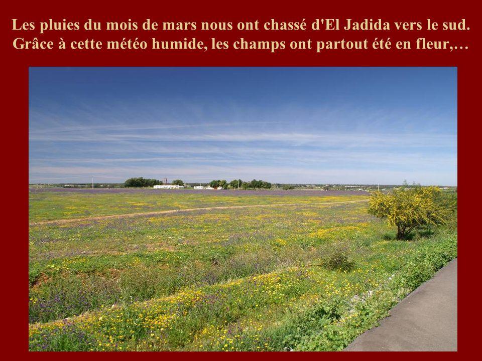 Les pluies du mois de mars nous ont chassé d'El Jadida vers le sud. Grâce à cette météo humide, les champs ont partout été en fleur,…