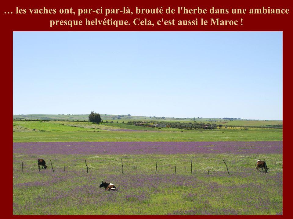 … les vaches ont, par-ci par-là, brouté de l'herbe dans une ambiance presque helvétique. Cela, c'est aussi le Maroc !