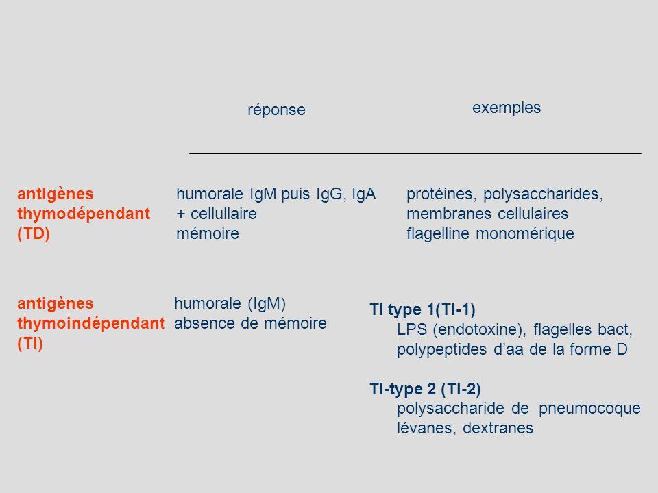 antigènes thymodépendant (TD) protéines, polysaccharides, membranes cellulaires flagelline monomérique humorale IgM puis IgG, IgA + cellullaire mémoir
