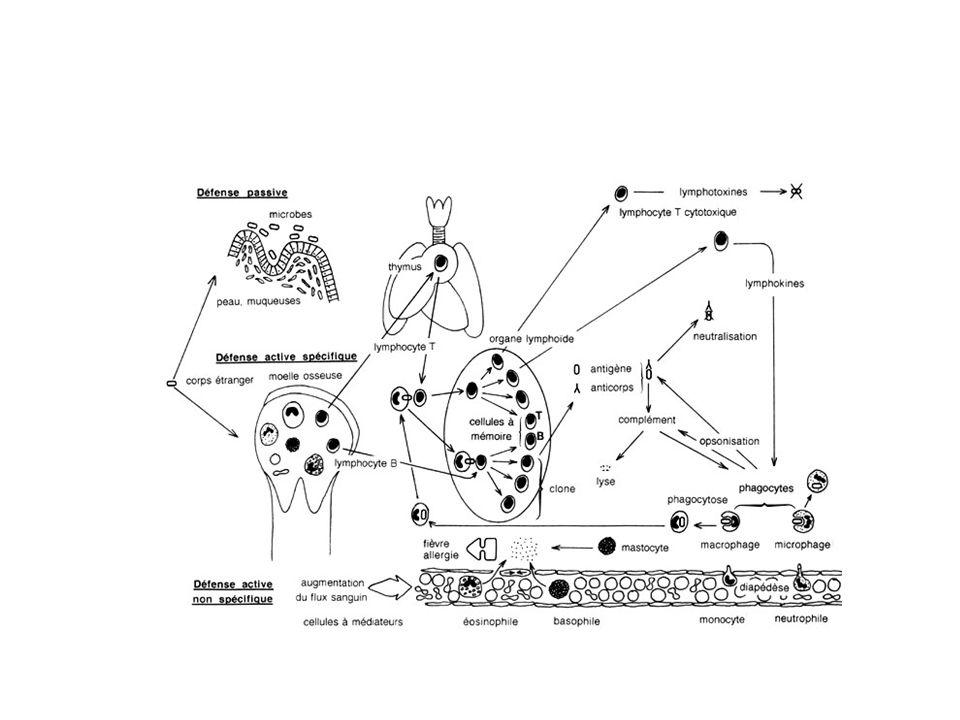 Immunité innée Naturelle non spécifique dantigène Réponse immédiate Régulation de limplantation du trophoblaste Maintien de la grossesse Rôle des macrophages – Micro-environnement – Cytokines Th2
