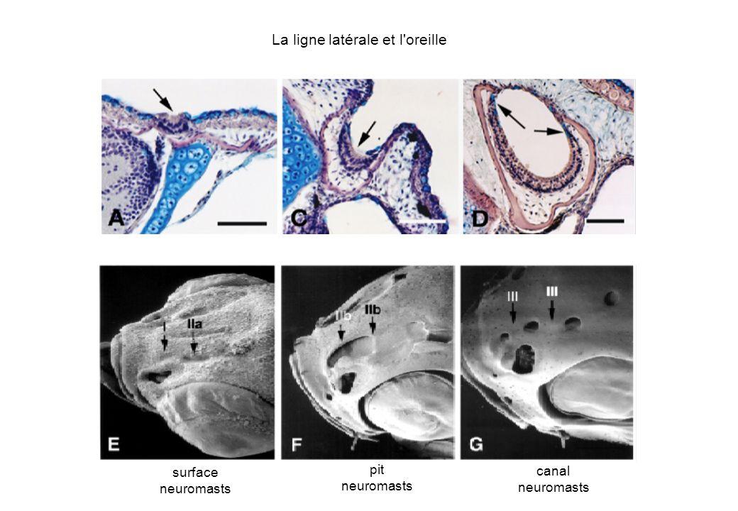 surface neuromasts pit neuromasts canal neuromasts La ligne latérale et l'oreille