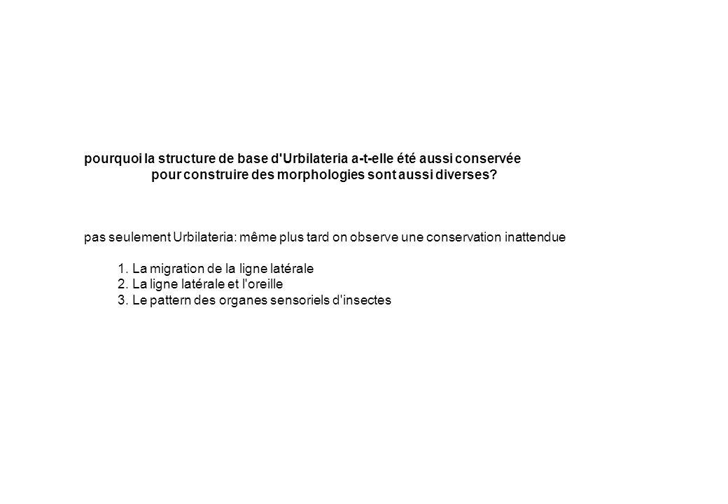 Amphibiens (grenouille) Chondrostéens (esturgeon) Amiiformes (Amia) Elopomorphes (anguille) Clupéomorphes (hareng) Characiformes (tétra aveugle) Cypriniformes (poisson-zèbre) Salmoniformes (truite) Esociformes (brochet) Gadiformes (cabillaud) Athérinomorphes (medaka) Percomorphes (turbot) aucun changement depuis 150-200 millions d années...