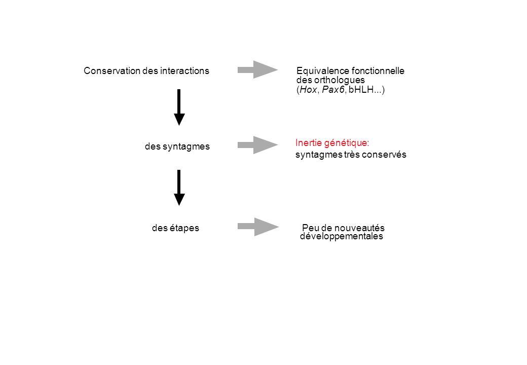 Conservation des interactionsEquivalence fonctionnelle des orthologues (Hox, Pax6, bHLH...) Inertie génétique: syntagmes très conservés des syntagmes