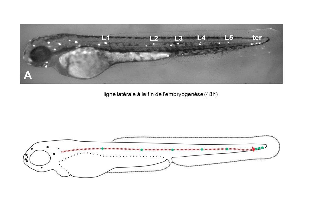 ligne latérale à la fin de l'embryogenèse (48h)