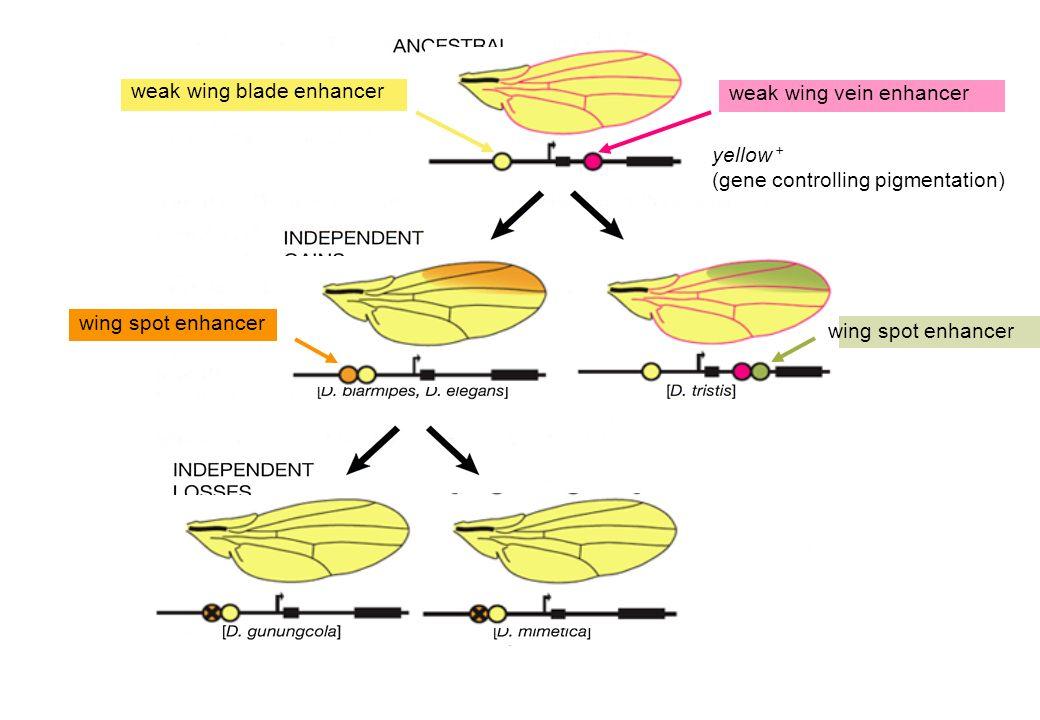 yellow + (gene controlling pigmentation) weak wing blade enhancer weak wing vein enhancer wing spot enhancer