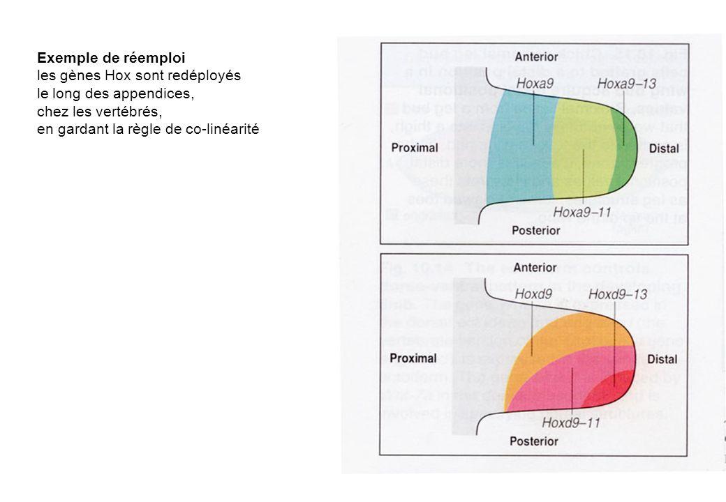 Exemple de réemploi les gènes Hox sont redéployés le long des appendices, chez les vertébrés, en gardant la règle de co-linéarité