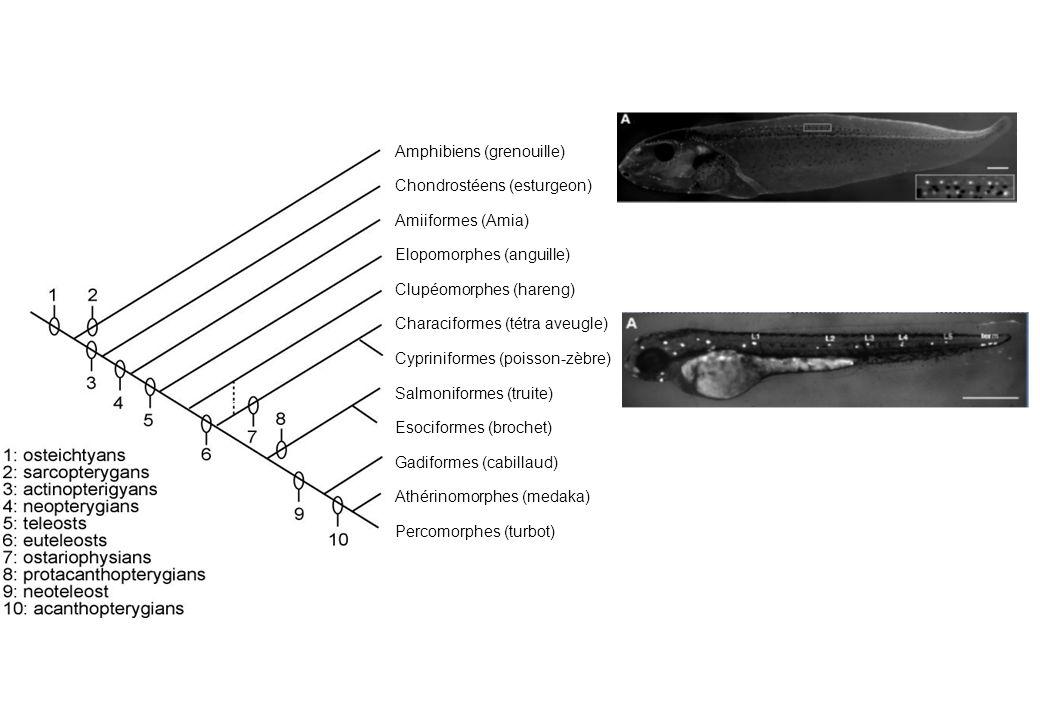 Amphibiens (grenouille) Chondrostéens (esturgeon) Amiiformes (Amia) Elopomorphes (anguille) Clupéomorphes (hareng) Characiformes (tétra aveugle) Cypri