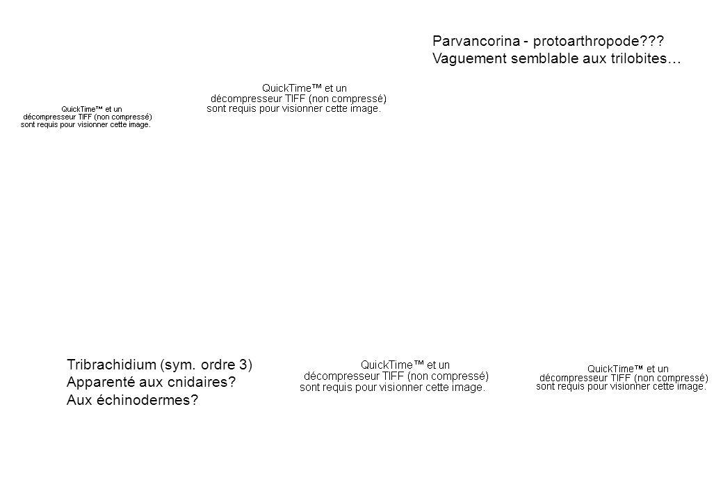 Parvancorina - protoarthropode??? Vaguement semblable aux trilobites… Tribrachidium (sym. ordre 3) Apparenté aux cnidaires? Aux échinodermes?
