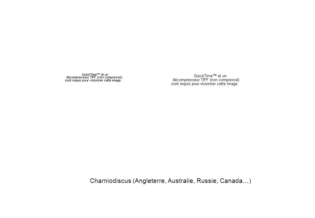 Charniodiscus (Angleterre, Australie, Russie, Canada…)