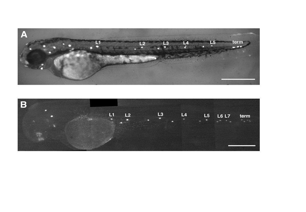 la cochlée est étroitement apparentée à la ligne latérale sa fonction (audition) est complètement différente