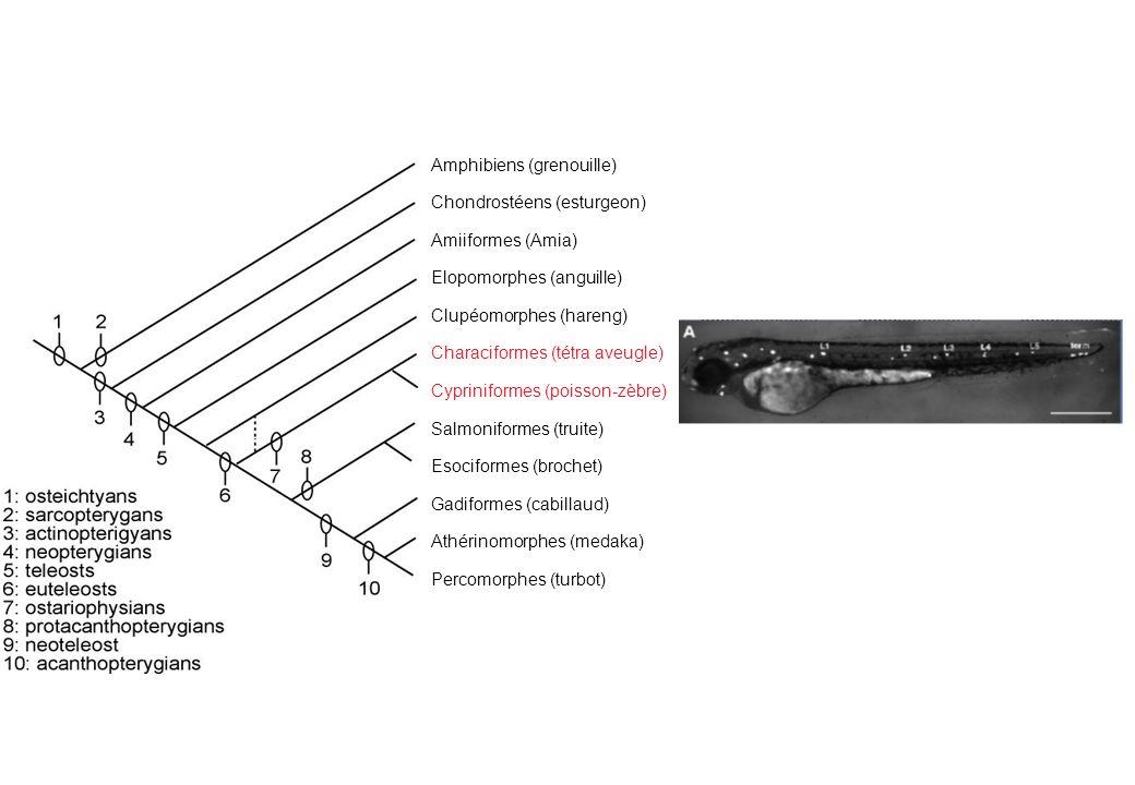 poisson-zèbre: pattern incomplet établi rapidement (2j) amphibien: pattern complet établi lentement (10j ou plus) Autant de patterns que d espèces?