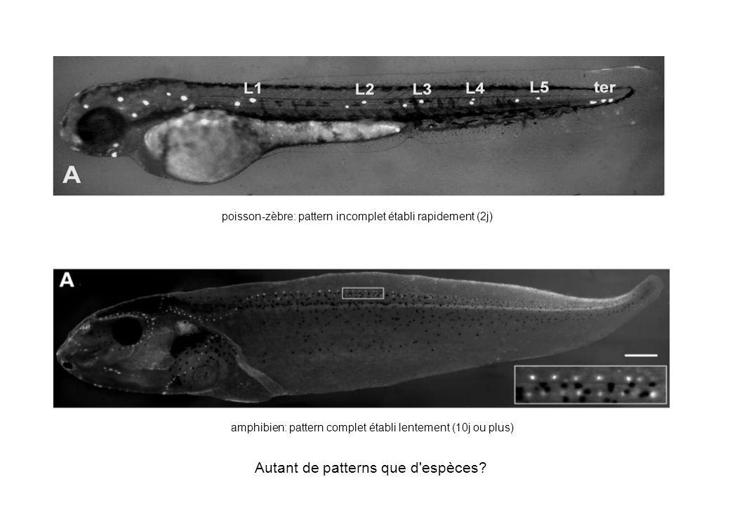 poisson-zèbre: pattern incomplet établi rapidement (2j) amphibien: pattern complet établi lentement (10j ou plus) Autant de patterns que d'espèces?