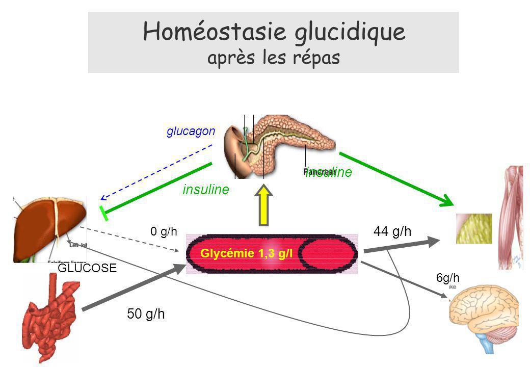 50 g/h Glycémie 1,3 g/l 6g/h GLUCOSE glucagon insuline 44 g/h insuline Homéostasie glucidique après les répas 0 g/h