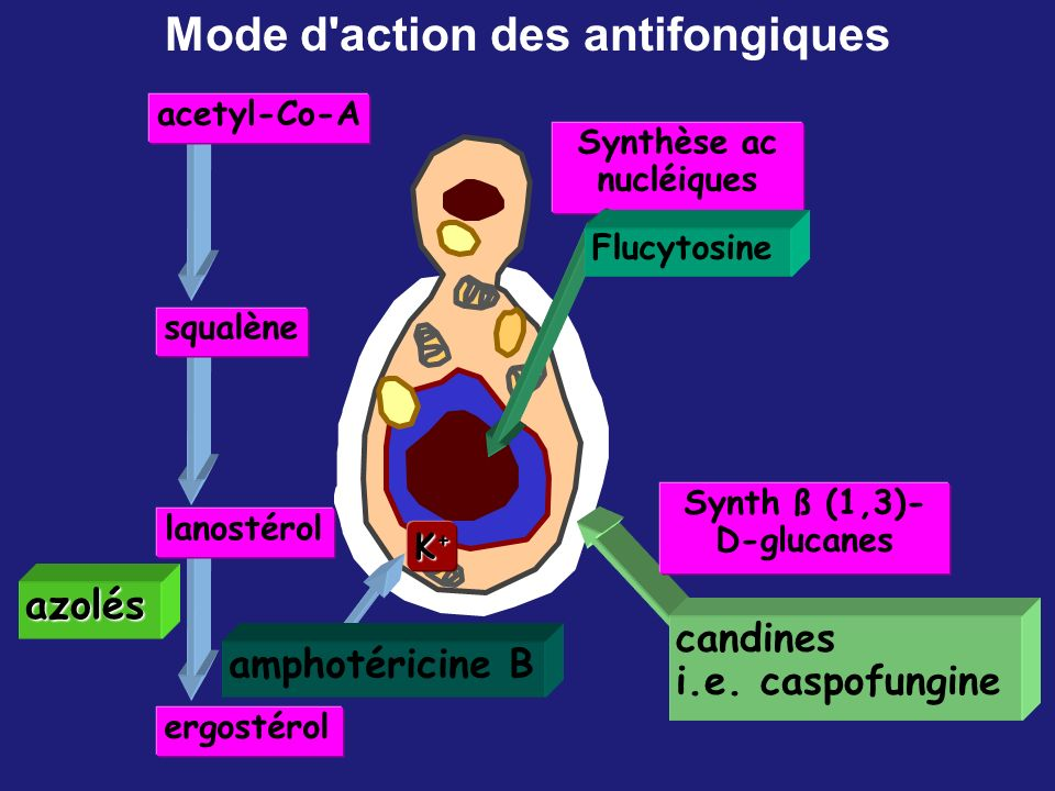 ergostérol squalène lanostérol acetyl-Co-A K+K+K+K+ azolés amphotéricine B Synthèse ac nucléiques Flucytosine Synth ß (1,3)- D-glucanes candines i.e.