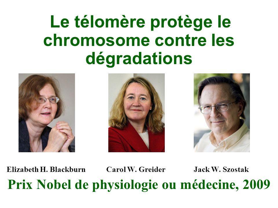Le télomère protège le chromosome contre les dégradations Elizabeth H.