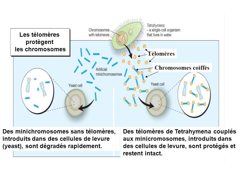 Les télomères protègent les chromosomes Des minichromosomes sans télomères, introduits dans des cellules de levure (yeast), sont dégradés rapidement.