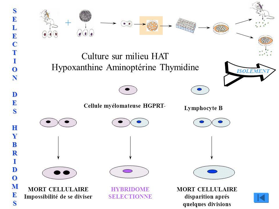 Culture sur milieu HAT Hypoxanthine Aminoptérine Thymidine Cellule myélomateuse HGPRT- Lymphocyte B MORT CELLULAIRE Impossibilité de se diviser MORT C
