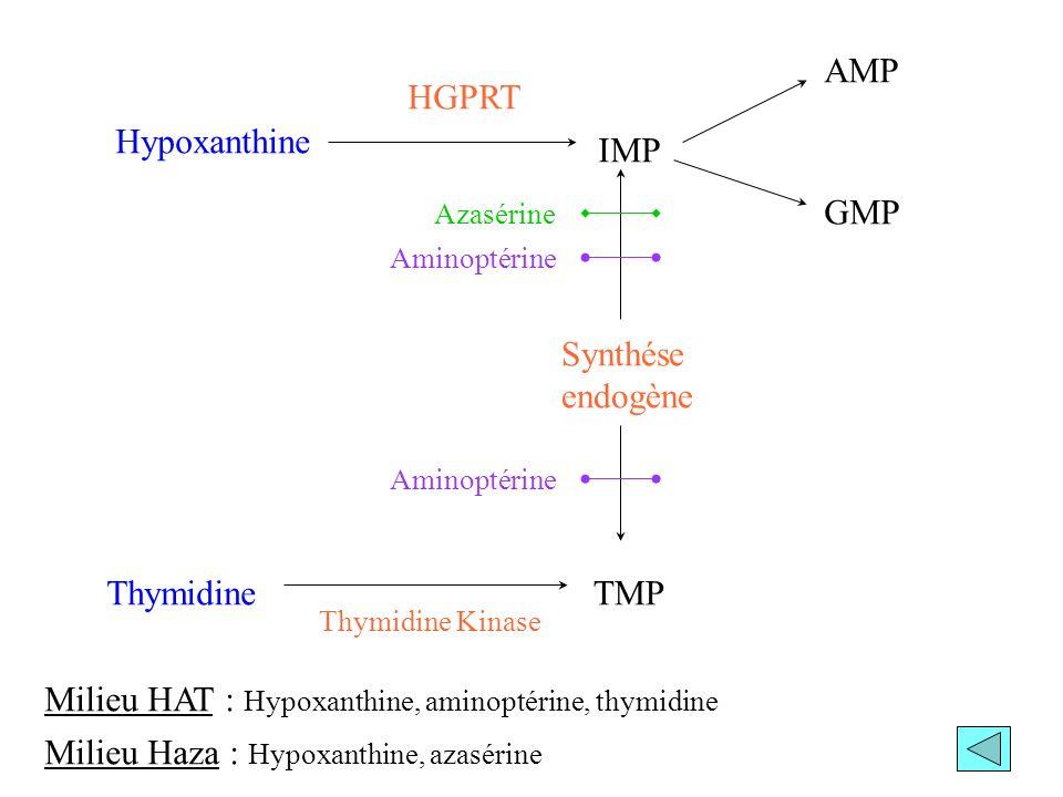 Hypoxanthine IMP AMP GMP Synthése endogène TMPThymidine HGPRT Thymidine Kinase Azasérine Aminoptérine Milieu HAT : Hypoxanthine, aminoptérine, thymidi