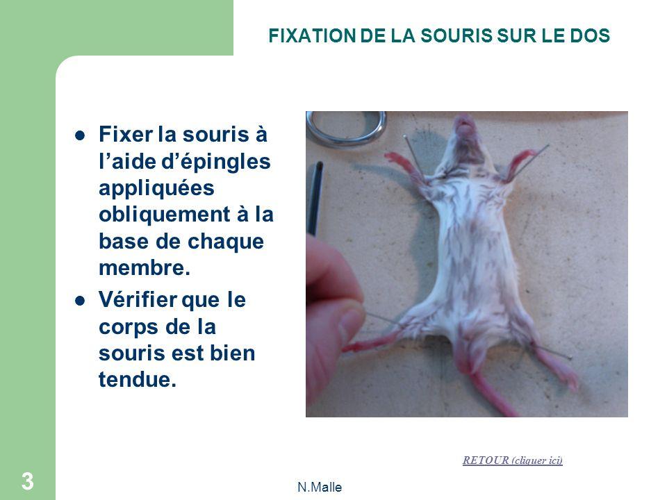 N.Malle 3 Fixer la souris à laide dépingles appliquées obliquement à la base de chaque membre.