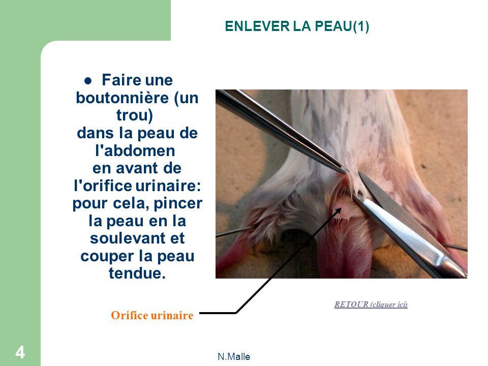 N.Malle 4 Faire une boutonnière (un trou) dans la peau de l abdomen en avant de l orifice urinaire: pour cela, pincer la peau en la soulevant et couper la peau tendue.