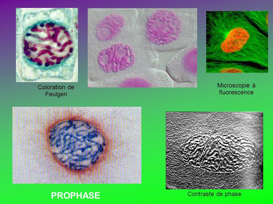 Microscopie à fluorescence Contraste de phase Coloration de Feulgen PROPHASE