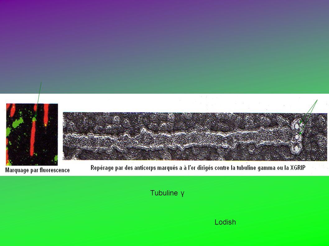 Lodish Tubuline γ