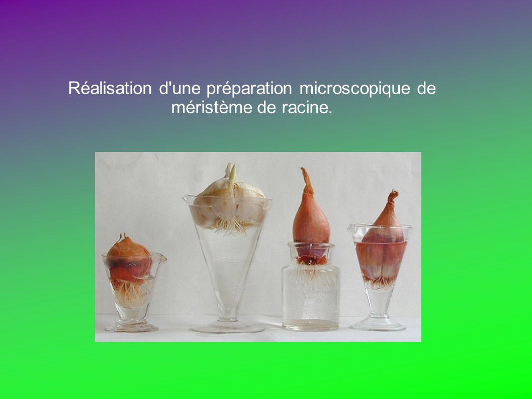 Réalisation d'une préparation microscopique de méristème de racine.