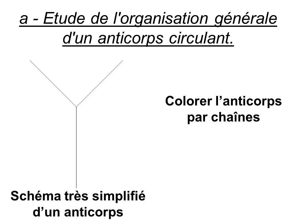 a - Etude de l'organisation générale d'un anticorps circulant. Schéma très simplifié dun anticorps Colorer lanticorps par chaînes