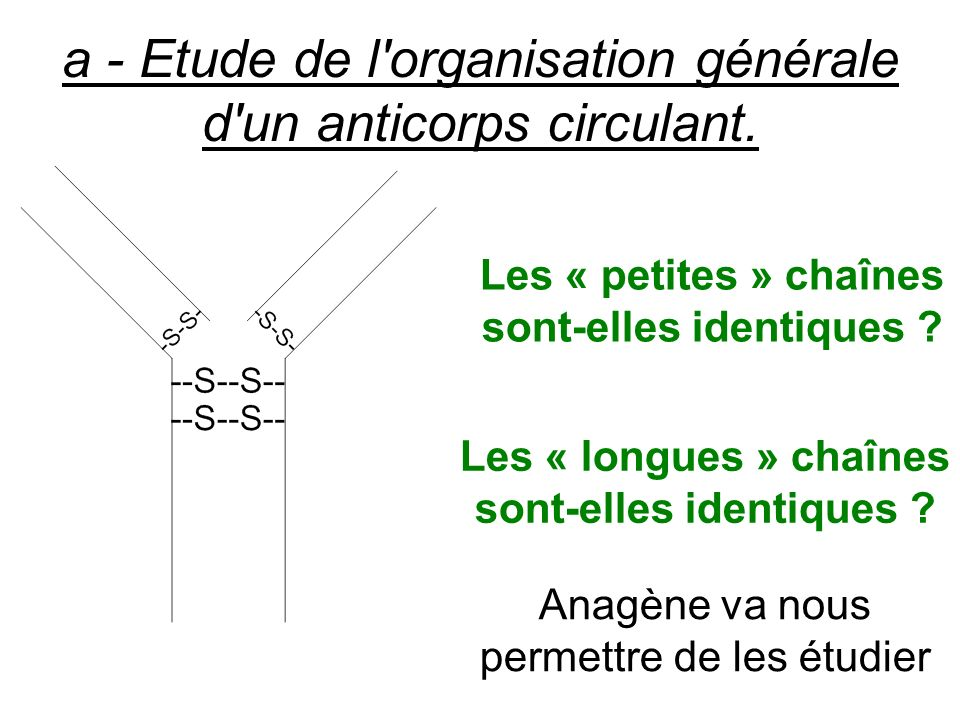 a - Etude de l'organisation générale d'un anticorps circulant. Les « petites » chaînes sont-elles identiques ? Les « longues » chaînes sont-elles iden