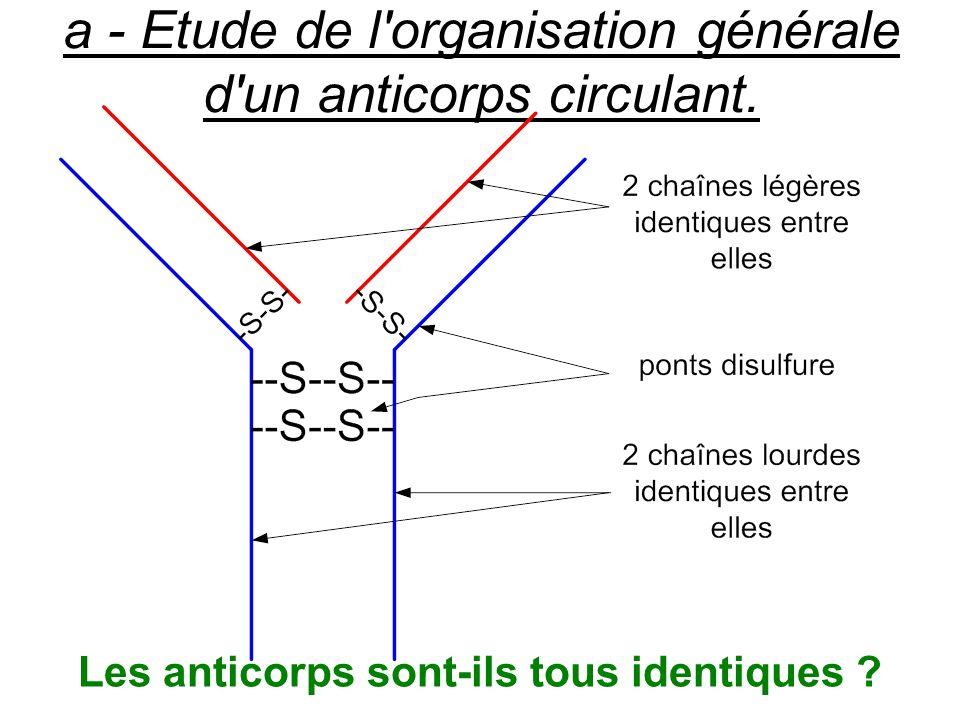 a - Etude de l'organisation générale d'un anticorps circulant. Les anticorps sont-ils tous identiques ?