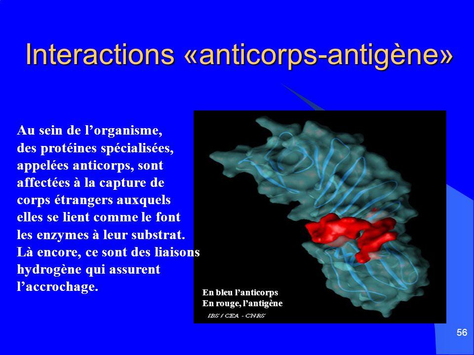 56 Interactions «anticorps-antigène» Au sein de lorganisme, des protéines spécialisées, appelées anticorps, sont affectées à la capture de corps étran