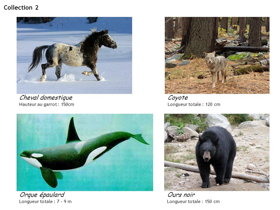 Collection 2 Cheval domestique Hauteur au garrot : 150cm Coyote Longueur totale : 120 cm Ours noir Longueur totale : 150 cm Orque épaulard Longueur to